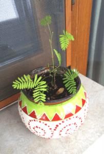 mimosa-mai