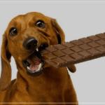 Si cainele tau a mancat ciocolata? Cabinet veterinar Valu iti spune cum il poti ajuta!